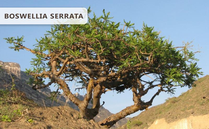 boswellia-serrata-pianta